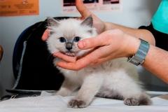 Hodowla kotów rasy ragdoll Jennifer World*PL