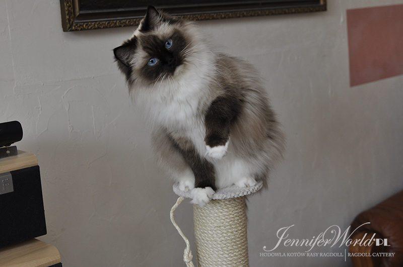Zdobyć przyjaźń kota nie jest rzeczą łatwą. Nie lokuje on swych uczuć nierozważnie: może zostać Waszym przyjacielem, jeśli jesteście tego godni, ale nigdy waszym niewolnikiem.